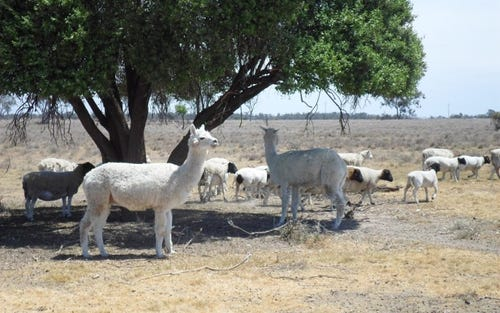 Goats Run, Moree NSW 2400
