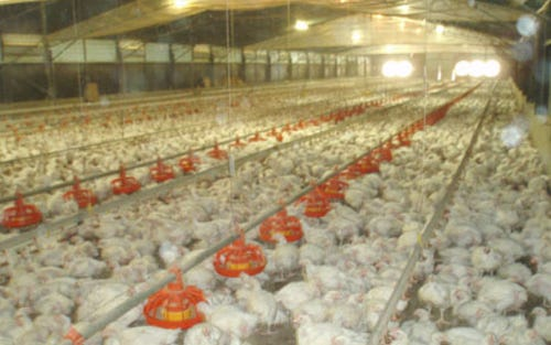 WALLAMORE CHICKEN FARM, Tamworth NSW 2340
